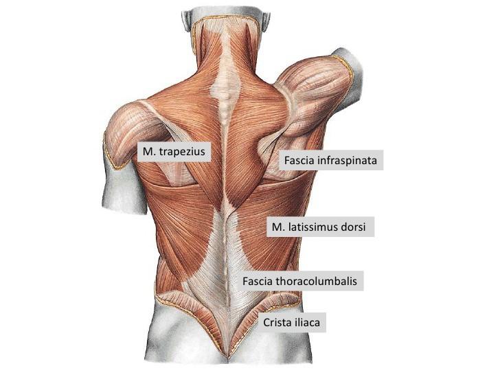 Fascia thoracolumbalis || Med-koM